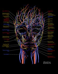 Anatomy Drawing Medical Kevin Cease - Veins, Arteries, and nerves of the face - Facial Anatomy, Skull Anatomy, Human Anatomy Drawing, Human Body Anatomy, Human Anatomy And Physiology, Anatomy Study, Relleno Facial, Nerve Anatomy, Facial Aesthetics