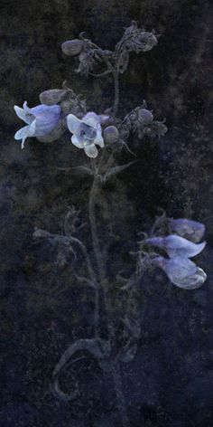 "Flowers in Neutral Moment-2015 "" Penstemon digitalis "" Archival pigment print Printed on cotton rag fine art paper Photo by Soichi Oshika"