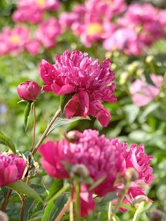 Big Ben Peony has outstanding fragrance and wonderful vigor. It performs well in the garden each year.