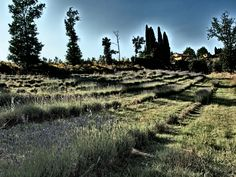 fields of lavender near florence