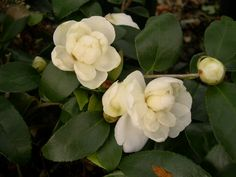 camelliawinterwaterlily
