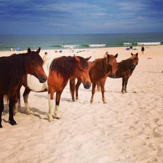 Wild horses on Assateague Island - MY DREAM TO GO AND SEE THESE PONIES!!