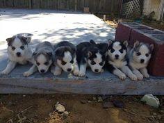 beautiful baby huskies!