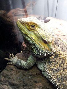 My bearded dragon!