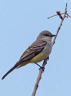 Chapada Flycatcher (Suiriri affinis)    formerly Suiriri islerorum
