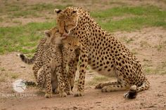 A mother cheetah showers her cubs with affection in the Masai Mara, Kenya  by Robyn Preston Photography