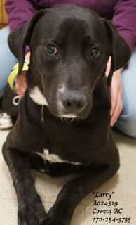 #GEORGIA #URGENT ~ Larry ID A024519 is a 1y/o #adoptable Labrador Retriever mix dog in #Newnan :: HW negative - He's a hearbreaker. He's very concerned about his situation at the shelter- wants soo much to love & trust....he just needs a reason to do so. When we took him out of his kennel to get to know him, he won ALL of us over!! A fella that's sure to make someone a wonderful companion. He just needs help finding them. COWETA COUNTY ANIMAL SHELTER 91 Selt Rd   #Newnan GA 30263 P…