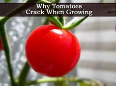 Why Tomatoes Crack When Growing