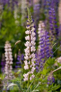 """""""Wild Lupine"""" Beautiful flowers of the Lupinus perennis bloom in Southwest Harbor, Maine. Photograph available as Print, Canvas or Framed.  Buy this photo and plant a tree! www.regreen.net"""