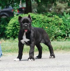 Aww he has a puppy face/ Cleo-Mad River Cane Corso Black white paws Cane Corso Italian Mastiff, Cane Corso Dog, Cane Corso Puppies, Black Cane Corso, Cane Corso Mastiff, Big Dogs, I Love Dogs, Cute Dogs, Dogs And Puppies