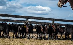 Calves look around to see who's next to be branded. This photo was taken at a branding on the Verploegen Ranch. Iron, Horses, Photography, Animals, Photograph, Animales, Animaux, Fotografie, Photoshoot