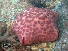 Cushion star; Culcita novaguineae | Chaloklum Diving - Koh Phangan ... Scuba Diving Thailand, Koh Phangan, Marine Life, Starfish, Cushions, Throw Pillows, Toss Pillows, Toss Pillows, Pillows