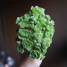 バラの花が咲いた?不思議な形の多肉植物、グリーンノビア【nat】