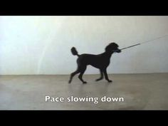 Walk, Amble, Pace and Trot in the Dog - YouTube
