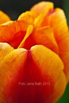 Deutschland, Germany, Rostock, Reutershagen, blühende Tulpe Am Schwanenteich - photo Jana Bath 2013