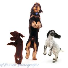 Dogs: Cocker Spaniels dancing photo