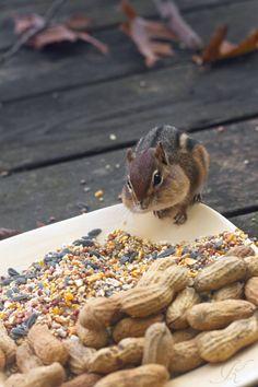 Chipmunks nut haven Ground Squirrel, Fox Squirrel, Types Of Animals, Cute Animals, Joyce Taylor, Woodland Creatures, Forest Animals, Rodents, Chipmunks
