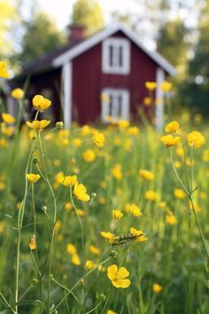 Smörblommor//Our dream home on Gabriola or salt spring island will be just like this. Summer Scenes, Sweden Travel, Red Cottage, Swedish House, Mellow Yellow, Country Life, Summer Dream, Wild Flowers, Summertime