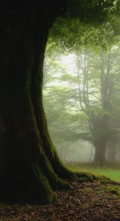 Lovely English Oak Tree trunk with moss and forest mist. Superb lighting
