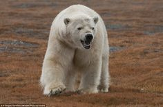 More than 230 polar bears have shown up for a massive feast on a remote island. But the lavish banquet on Wrangel Island, in the Arctic Ocean, was not planned. Cane Corso, Sphynx, Chinchilla, Wild Life, Otter, Rottweiler, Pitbull, Polar Bear Tattoo, Husky