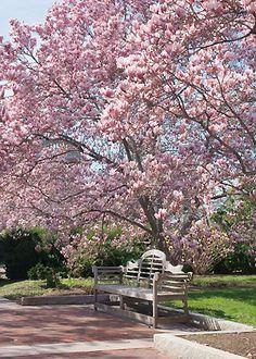 Les magnolias comptent parmi les plus beaux arbres à floraison printanière ou estivale. Qu'ils prennent la forme d'arbres imposants ou d'arbustes décoratifs selon les espèces, il savent embellir les jardins de toutes tailles en nous faisant don de leurs fleurs au délicieux parfum, fleuri ...