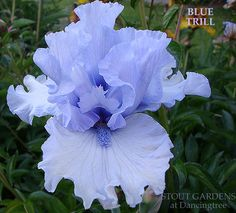 Iris BLUE TRILL | Stout Gardens at Dancingtree All Flowers, Colorful Flowers, My Flower, Iris Flowers, Planting Flowers, Iris Garden, Garden Plants, Day Lilies, Embroidered Flowers