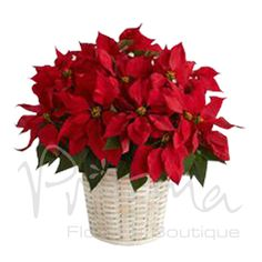 An Alabama grown, Christmas Poinsettia is the traditional holiday blooming plant, with its dark leaves and deep red flowers is the perfect gift for family and friends. Christmas Plants, Christmas Poinsettia, Christmas Flowers, Christmas Wreaths, Christmas Decorations, Holiday Decor, Christmas Arrangements, Natural Christmas, Holiday Ideas