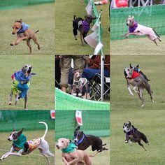 WEBSTA @ ighamukatsu - *umiosa  30m走*今回ステンはクーちゃんのお守り役?(笑)*#italiangreyhound  #イタグレ #イタリアングレーハウンド#dog #instadog #犬バカ部 #ステンクー #モデル犬 #west_dog_japan #iggy#umiosa #海おさ #30m走