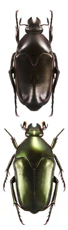 Lomaptera kaestneri