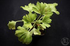 Oravankesäpesä   Sormipelargoni Pelargonium 'Good Vibration'