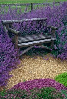 Nepeta Cataria or catnip hugging a bench~