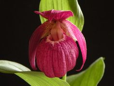 Cypripedium -tibeticum