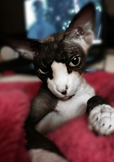 Sylvia Sphynx my little love