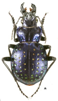 "Calosoma fischeri - This species of beetle is of the family Carabidae doesn't this bug look like the Tank Bugs from ""Starship Troopers"" ?"