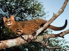 Pampas Cat, Gato colocolo