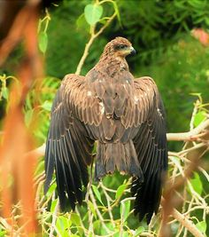 Black kite Game Birds, Vertebrates, Birds Of Prey, Raptors, Kite, Eagles, Owl, Hawks, Milan