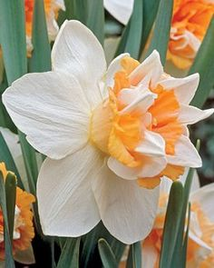 """Daffodil, Extravaganza 5 for 19.95 Early to Mid 14-16"""""""