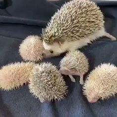 click visit watch more videos - Tiere - Animais Super Cute Animals, Cute Little Animals, Cute Funny Animals, Hedgehog Pet, Cute Hedgehog, Baby Animal Videos, Funny Animal Videos, Pet Birds, Animals Beautiful