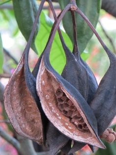 Pink flame tree seed pods