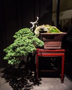 Anthony Fajarillo Mountain Hemlock Bonsai Photo by Naedoko Bonsai