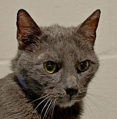 "Bear is a beautiful gray 11-year-old cat who came to Lollypop Farm because his owner was moving and couldn't take him along. He lived with a small dog and cats with no problem. His previous owner said he loved to cuddle and would ""head butt"" you when he wanted attention. Bear is eligible for the Seniors-for-Seniors program so approved adopters, age 60 and older, can adopt him for free!"