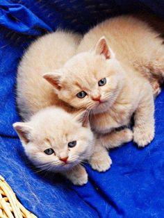 Cute little buff tabby kittens