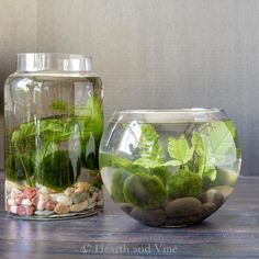 Grow your own indoor water garden with simple supplies in no time. These pretty desktop water gardens are low maintenance with simple water plants and marimo moss balls pretty the beauty of nature into your home. Water Garden Plants, Indoor Water Garden, Water Gardens, Succulent Garden Diy Indoor, Easy Garden, Garden Ideas, Pond Ideas, Veg Garden, Garden Pond