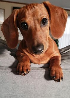 Everything About The Smart Daschund Puppies Health Funny Dachshund, Dachshund Puppies, Dachshund Love, Cute Dogs And Puppies, Baby Dogs, Pet Puppy, Dachshund Clothes, Dapple Dachshund, Dachshund Gifts