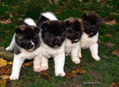 """Akita puppies....    """"We're off to see the Wizard...."""""""
