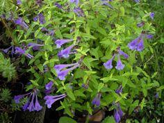 File:Scutellaria scordifolia 'Seoul Sapphire' 3.JPG