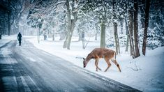 Deer On Snowy Forest Road Picture. Deer along snowy road through forest behind person walking. Snowy Forest, Forest Road, Road Pictures, Winter Pictures, Park Pictures, Deer Crossing, Bear Hunting, Wild Dogs, Free Stock Photos