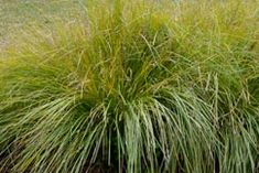 Zegge - Carex \'Bronze Reflection\' | Reflection