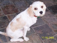 My cavoodle Darcy after being clipped
