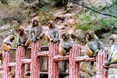 Wulongkou #Makaken #Reservat in Jiyuan, #Henan #China